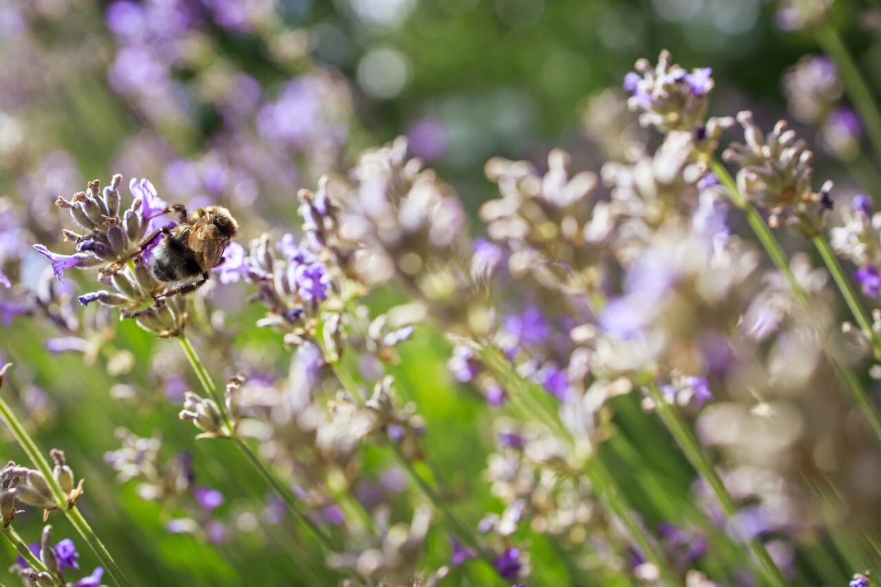 Honeybee pollinating lavender flowers field