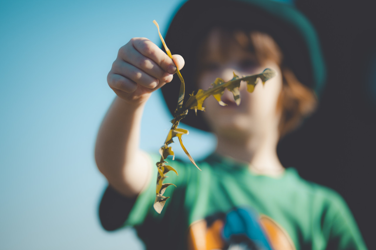 Child holds dandelion leaves in hand. Collected for his rabbits.