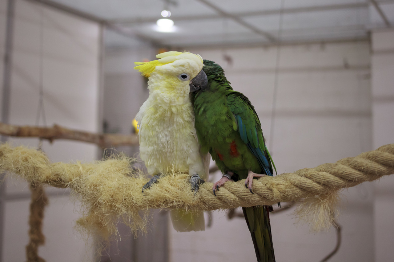 A green and a white parrot sit cuddling on a rope