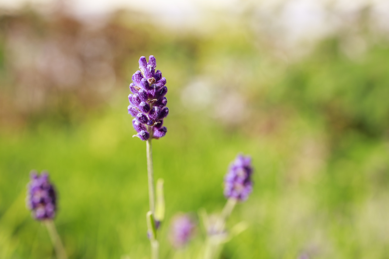 Close up view of blooming lavender flowers
