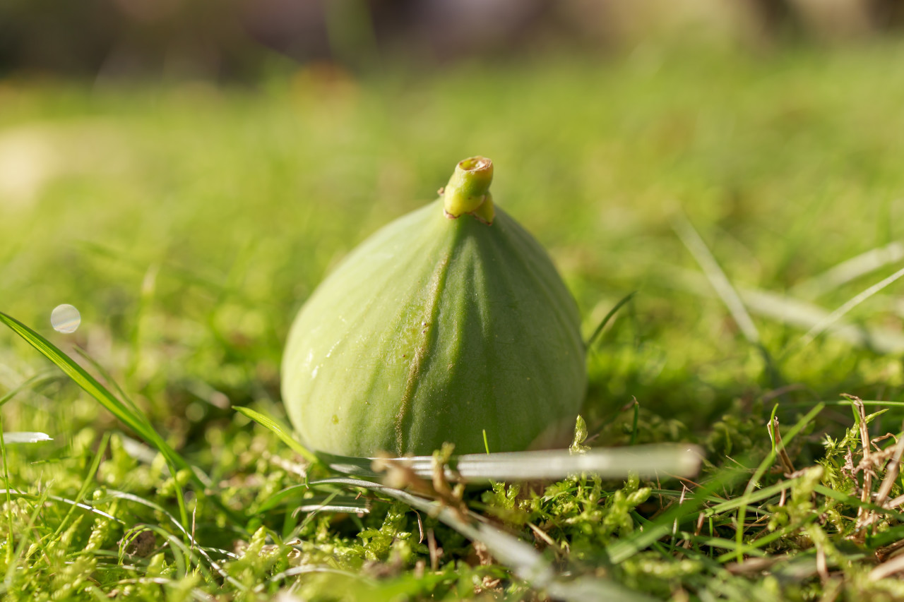 Fig fruit has fallen from the tree and lies in a meadow