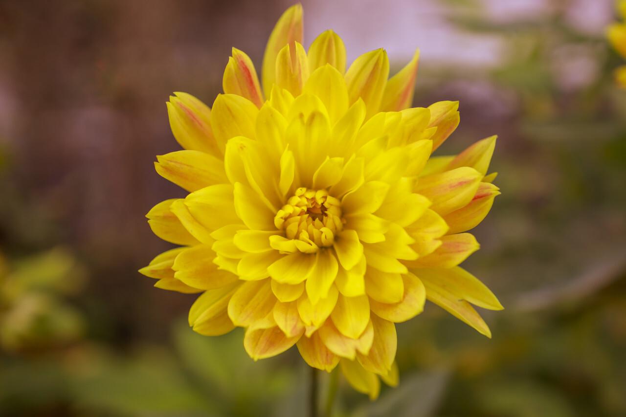 Yellow Dahlia Flower Close-Up