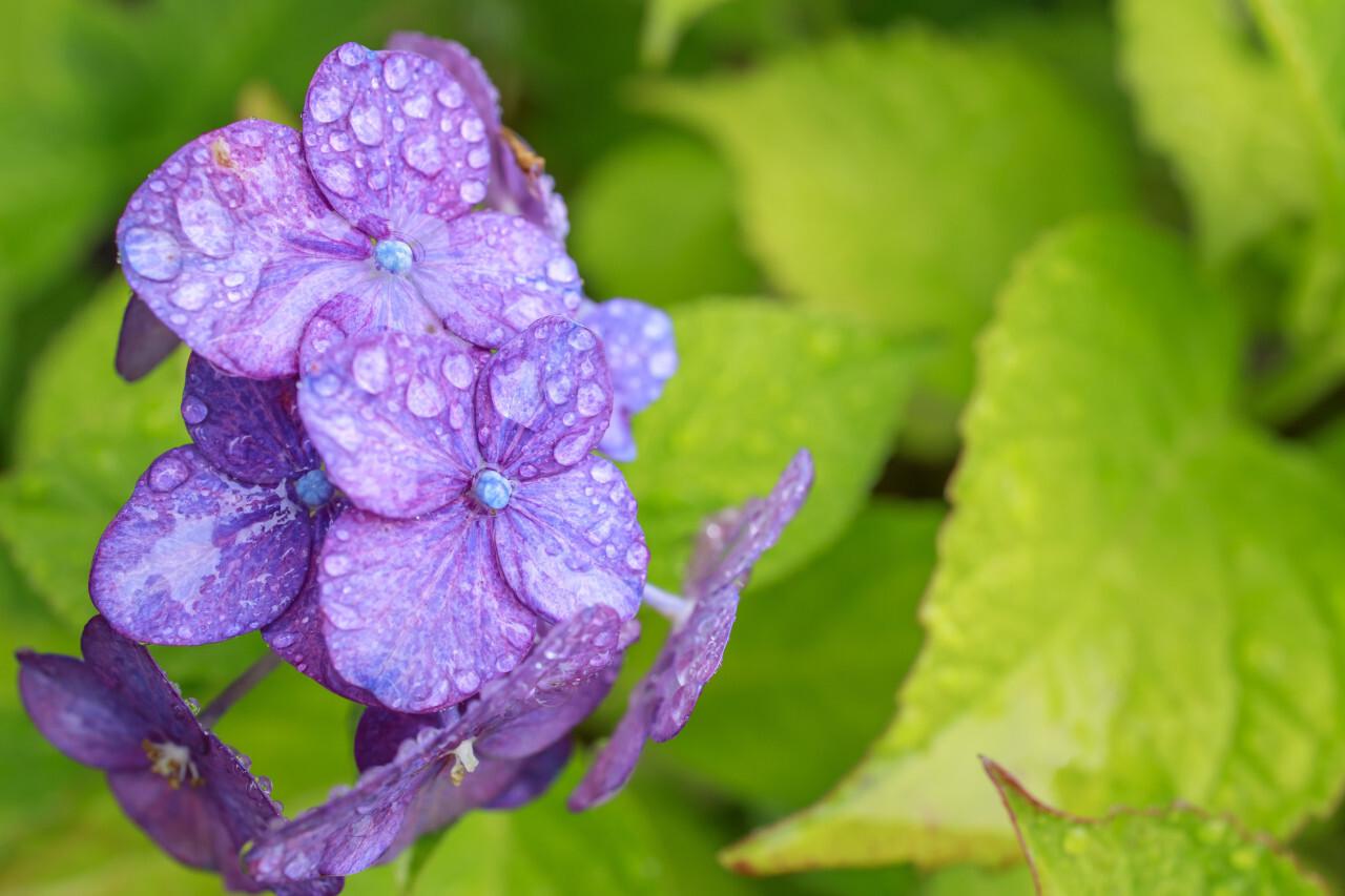Beautiful hydrangea or hortensia - purple flower