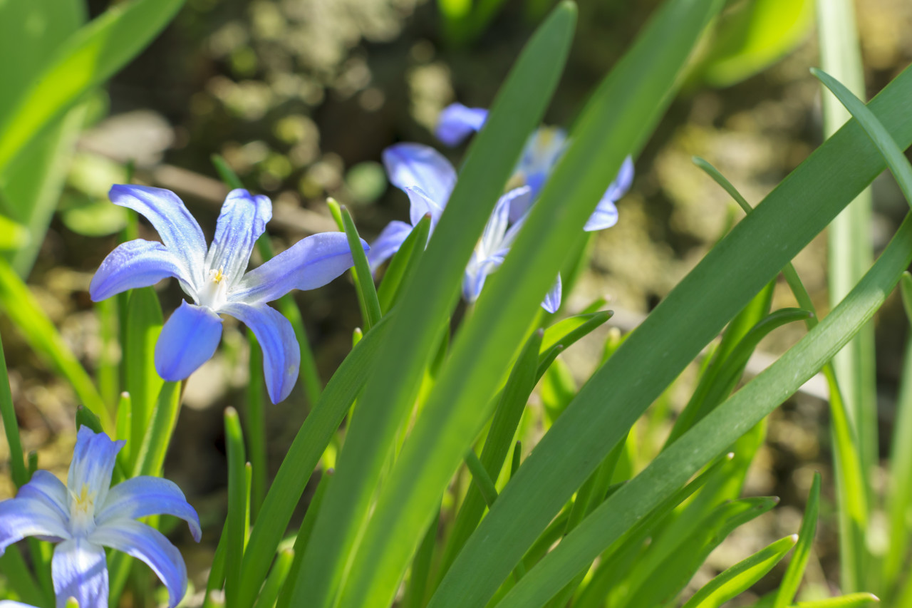 Glory of the Snow Blue Flower Chionodoxa