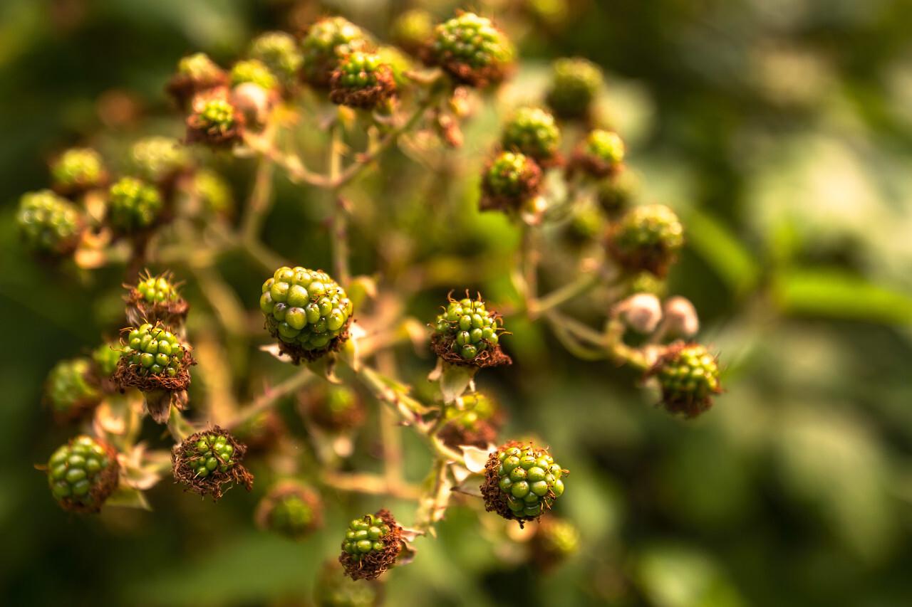unripe blackberries on blackberry bush