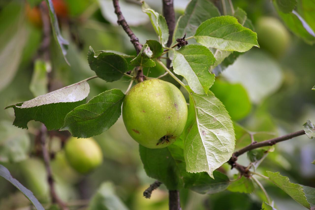 Green Growing Apples