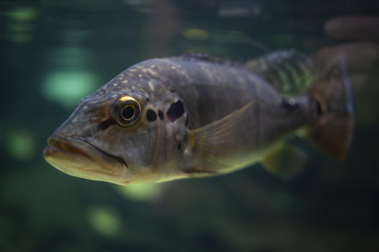 Northern pike fish