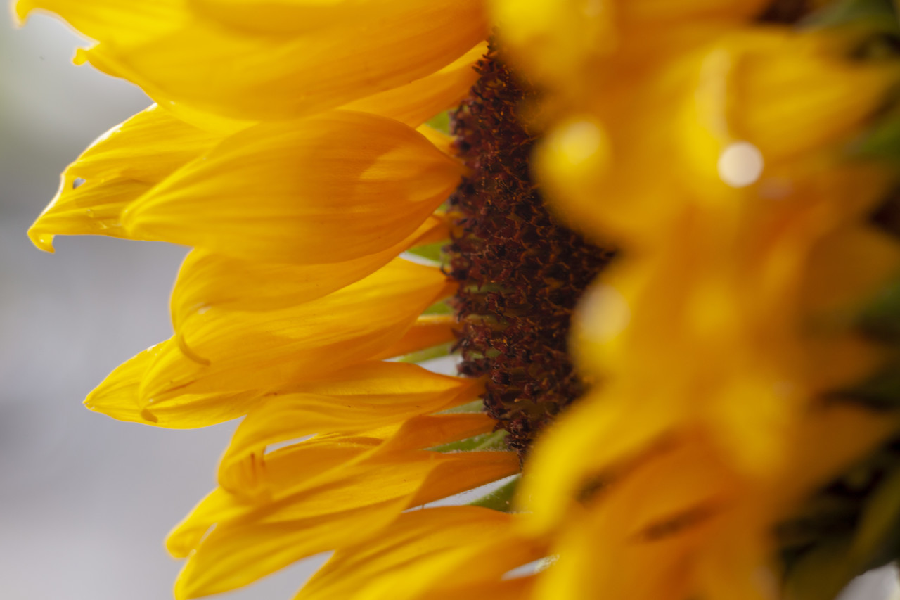 Sunflower from the side close-up