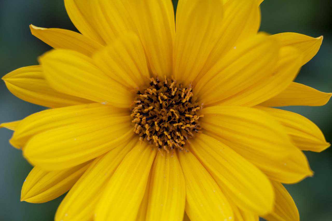 Close up view of a yellow daisy flower