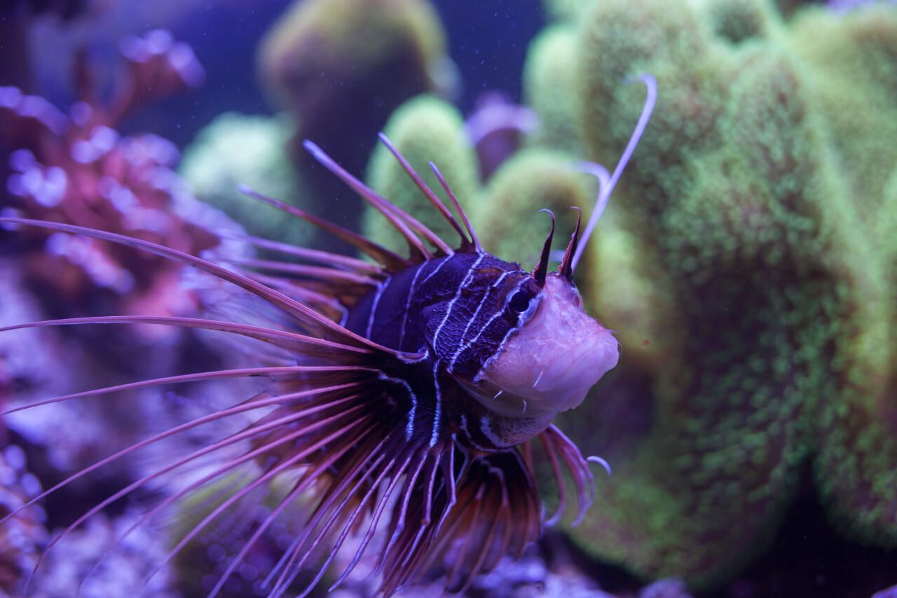 Clearfin lionfish (Pterois radiata)