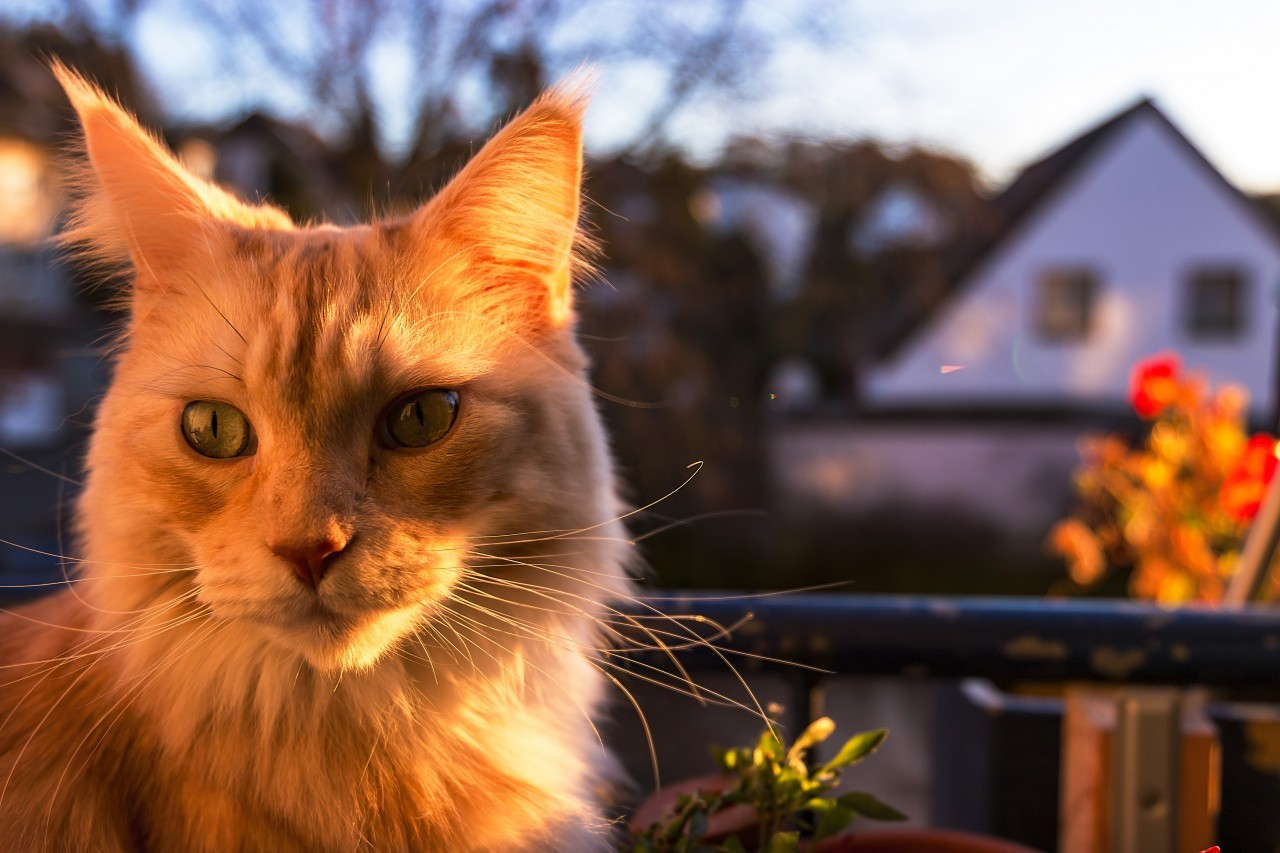 Maine Coon Cat sitting by sunset on the balcony