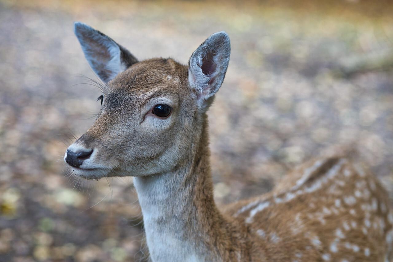 Portrait of an deer