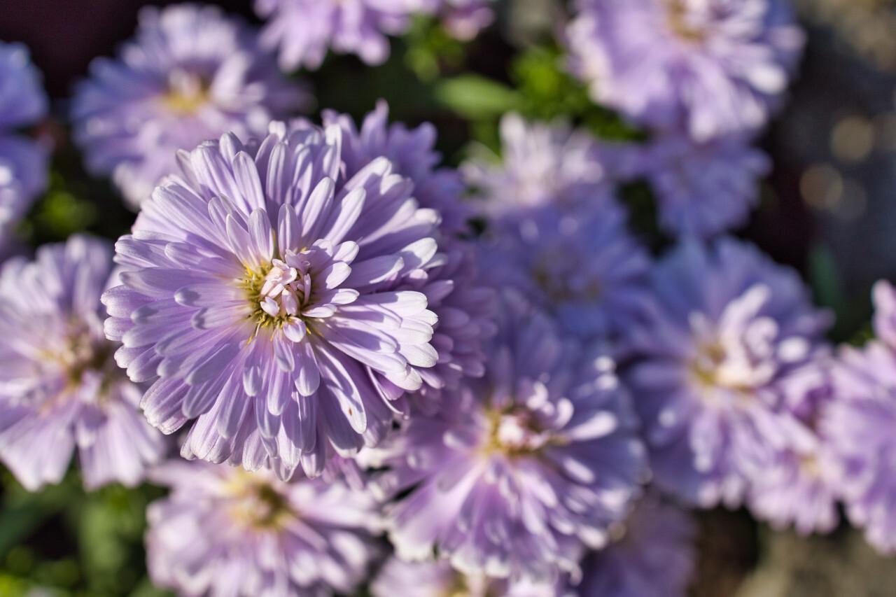 Beautiful violet aster flowers