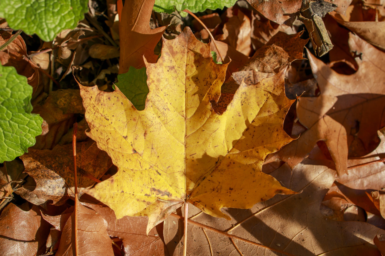 Maple leaf in autumn on the forest floor