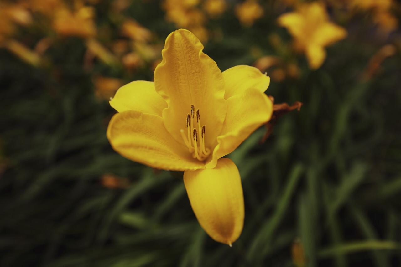 Yellow lilies flower in a garden