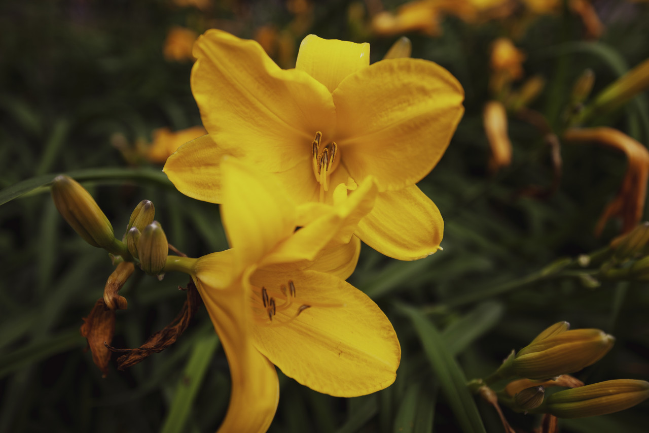 yellow lilies flowers growing in a garden