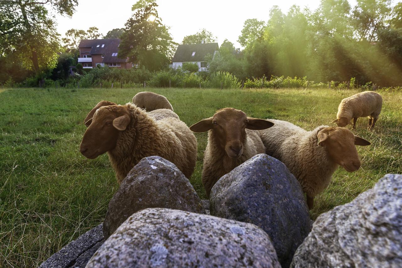 cute sheep looking at the camera