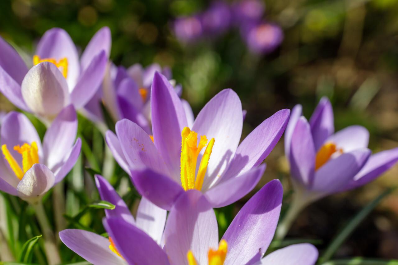 Purple Crocus Flower Close Up
