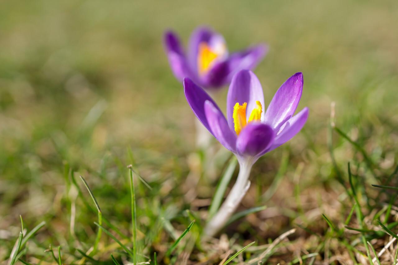 Beautiful Purple Crocus Flower