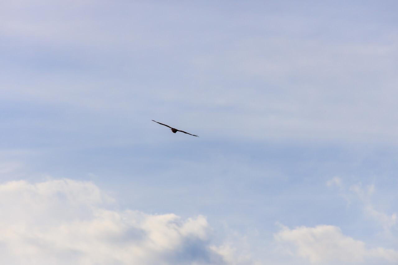 Hawk or Buzzard in the air