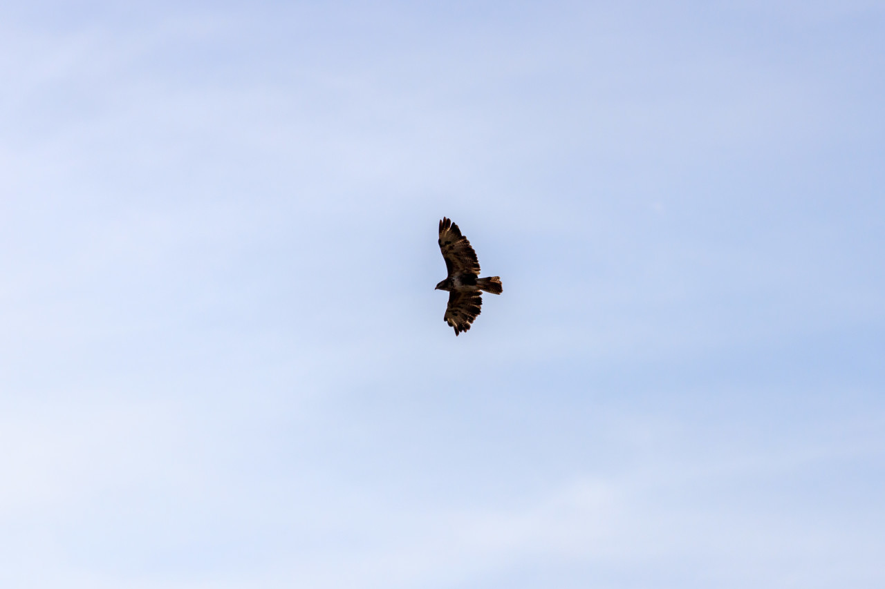 Hawk in the air