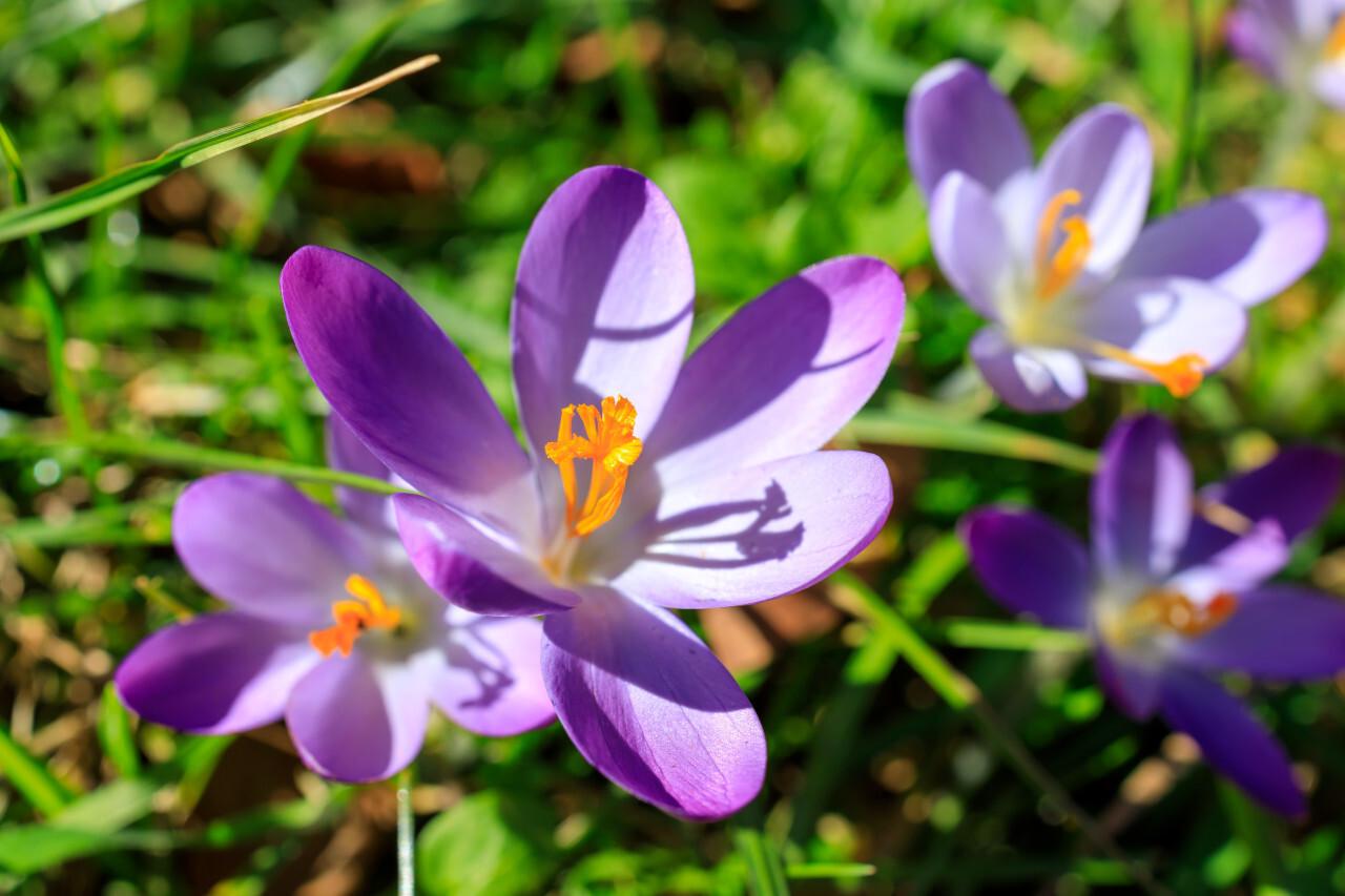 Spring Crocus Flowers on a meadow