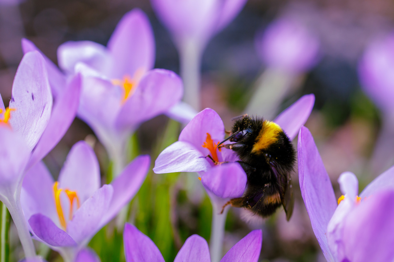 A bumblebee on a crocus flower in spring