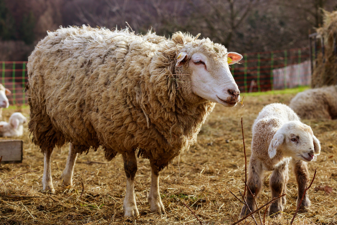 A white sheep mother with her cute white lamb