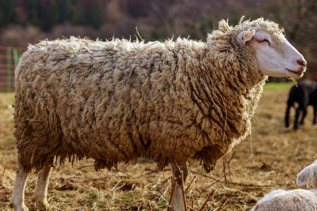 White Sheep in spring