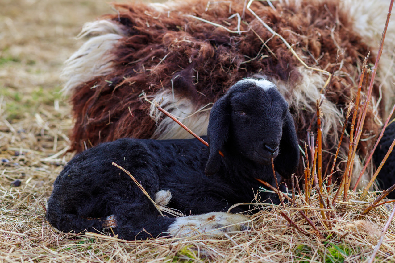 A little lamb lies with its mother sheep