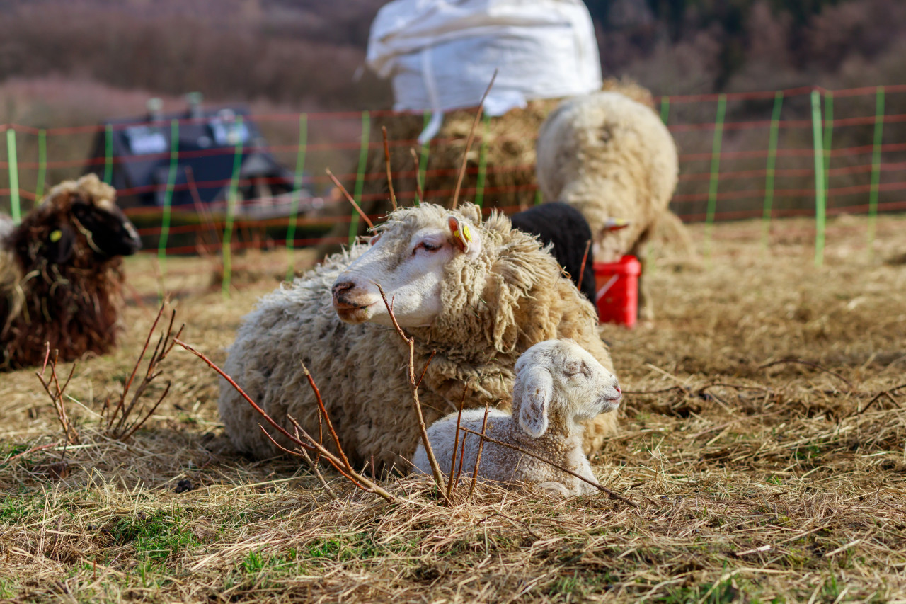A little white lamb lies with its mother sheep