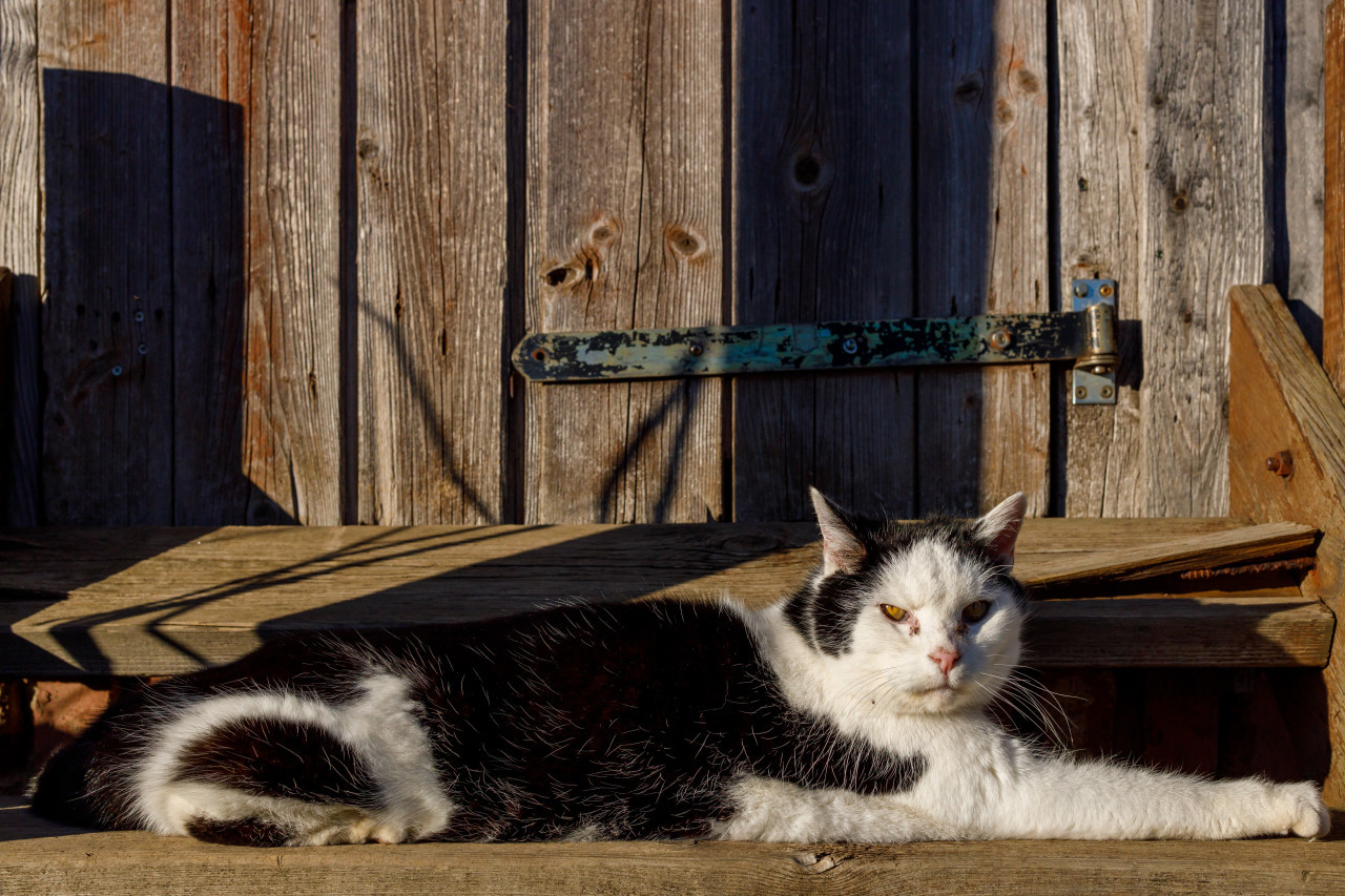 Black and white cat lies on the stairs in front of a wooden door