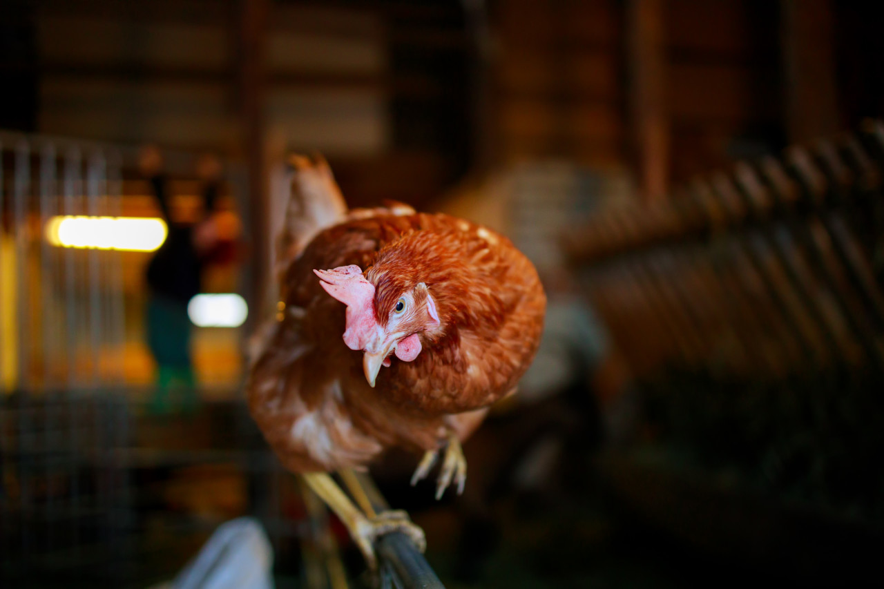A curious hen in a stable