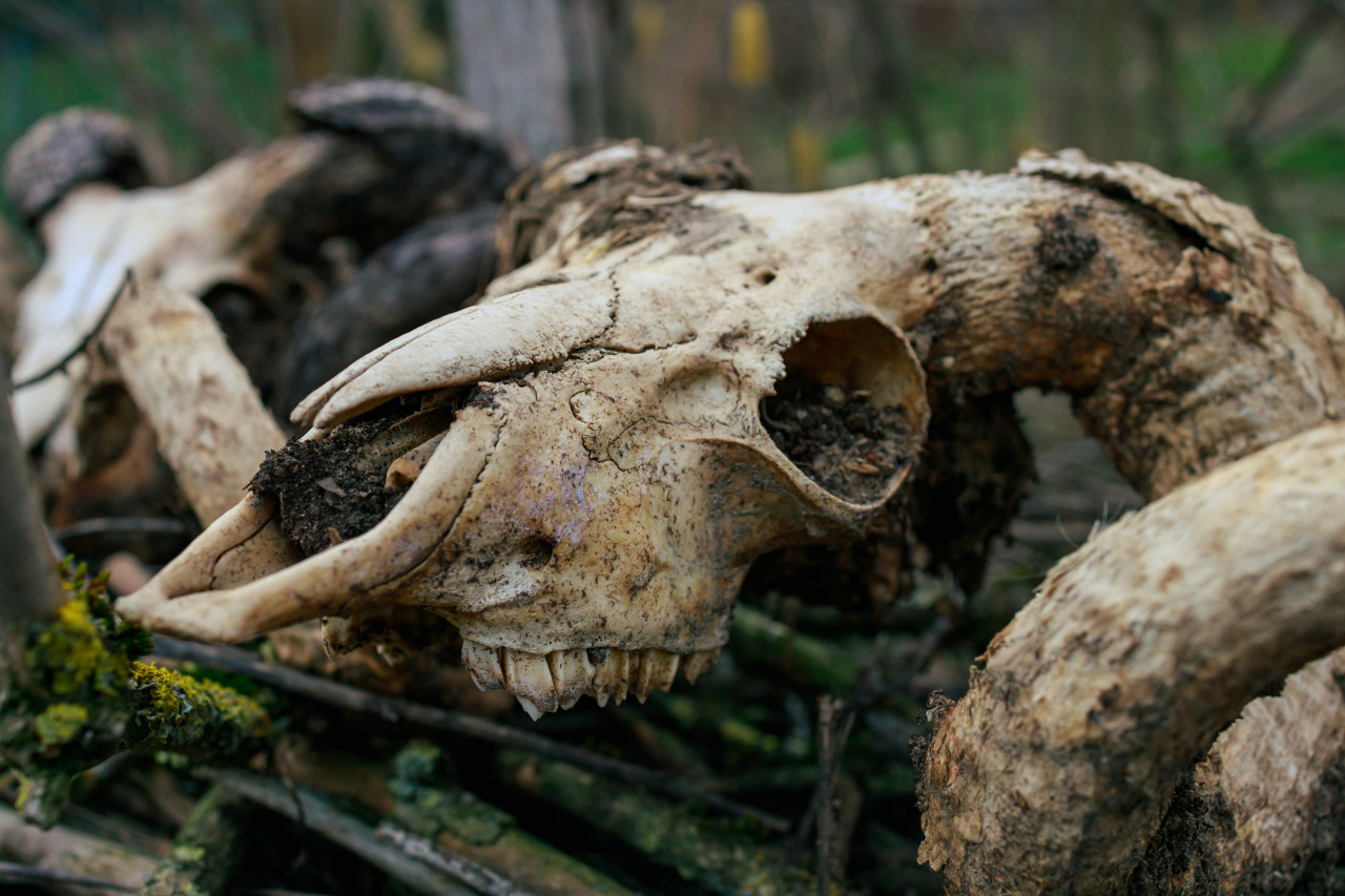 Old goat skull in countryside