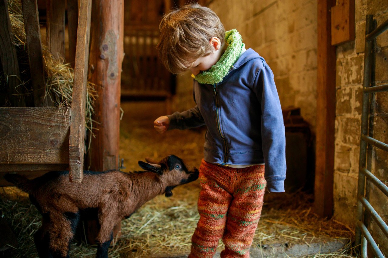 Little child plays with a baby goat