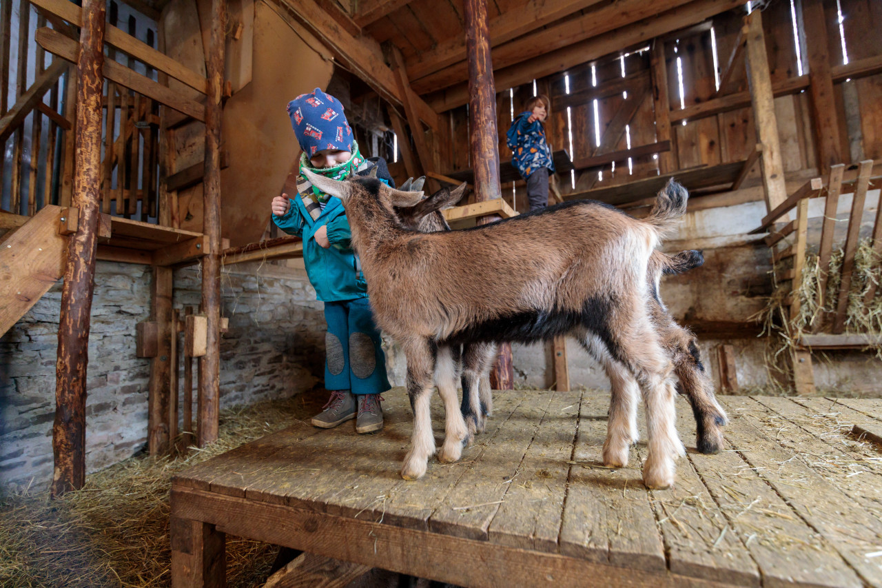 Children play with goats in a stable
