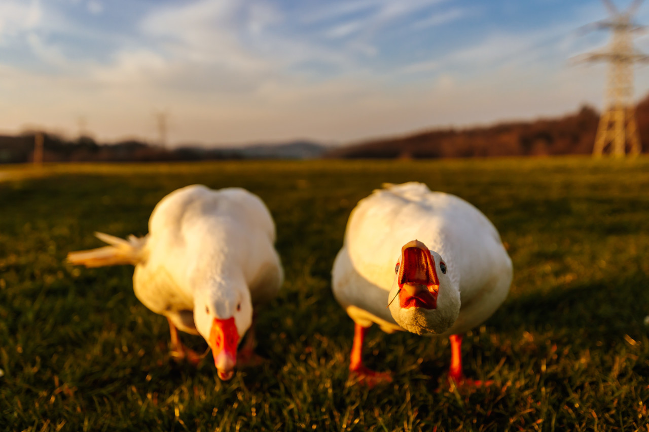 Angry white geese on a meadow