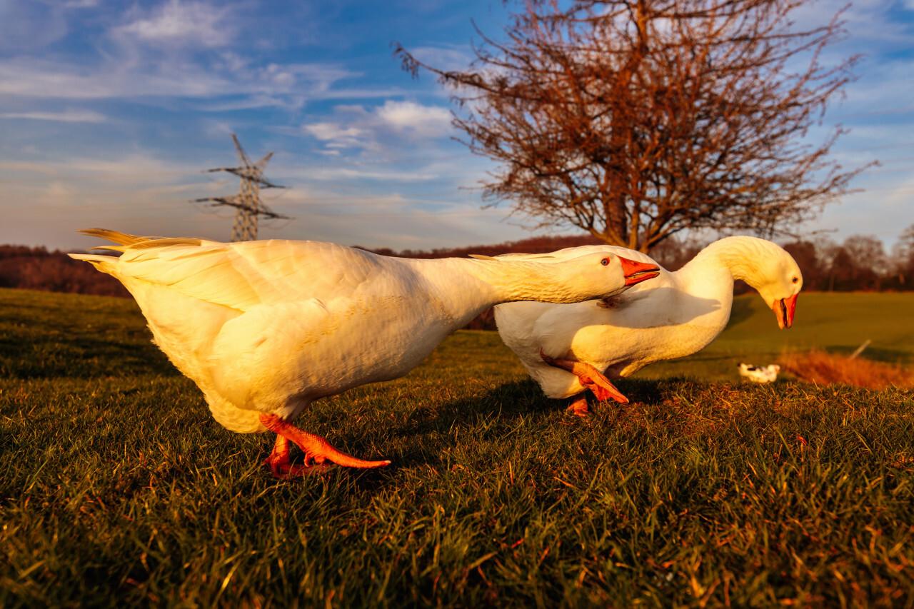 White Geese walking