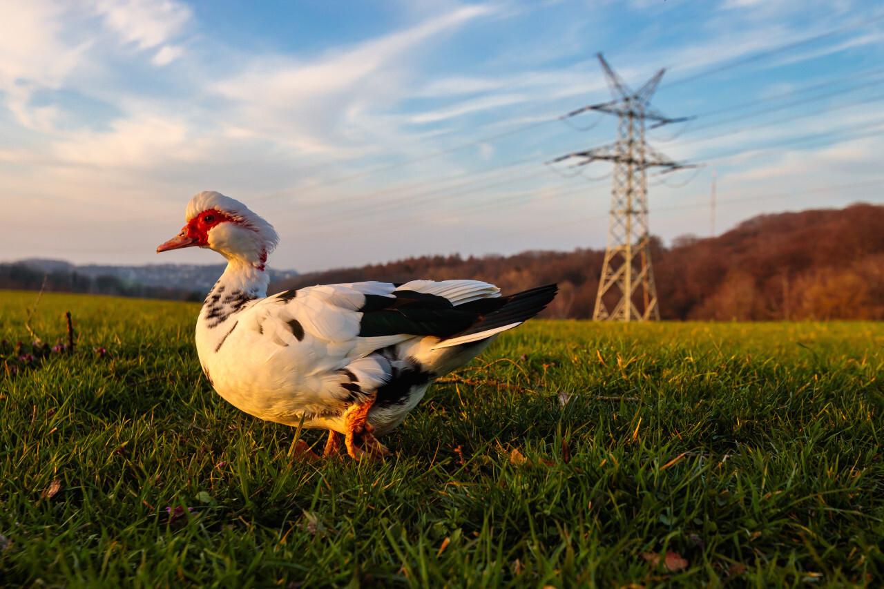 Muscovy Duck on a green Meadow