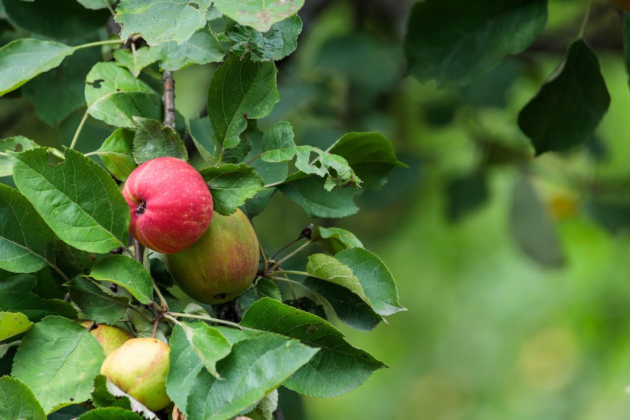 Apples ripen on an apple tree in summer