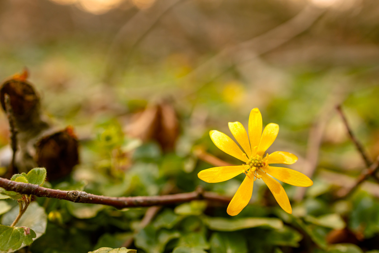 Yellow blooming buttercup flower growing in the spring in the forest
