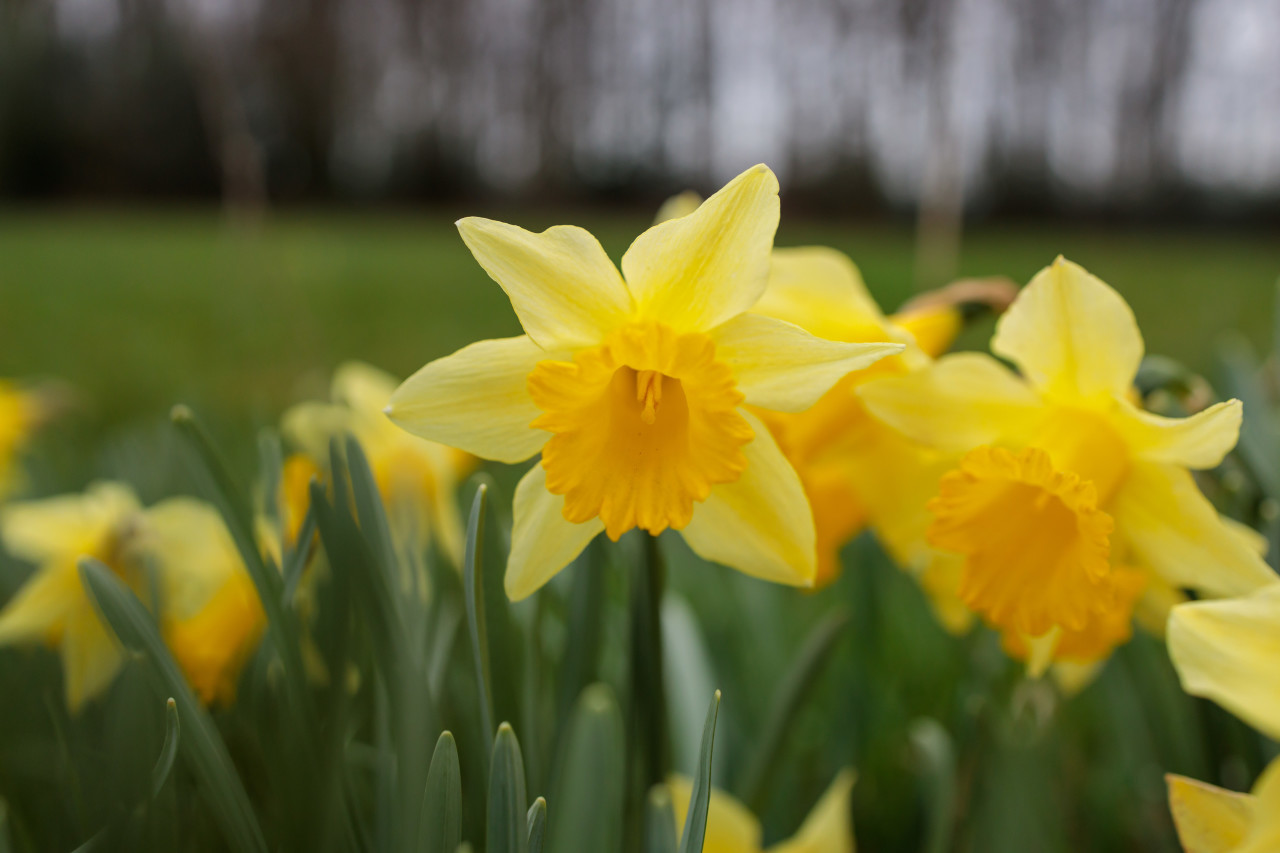Yellow daffodils bloom in spring