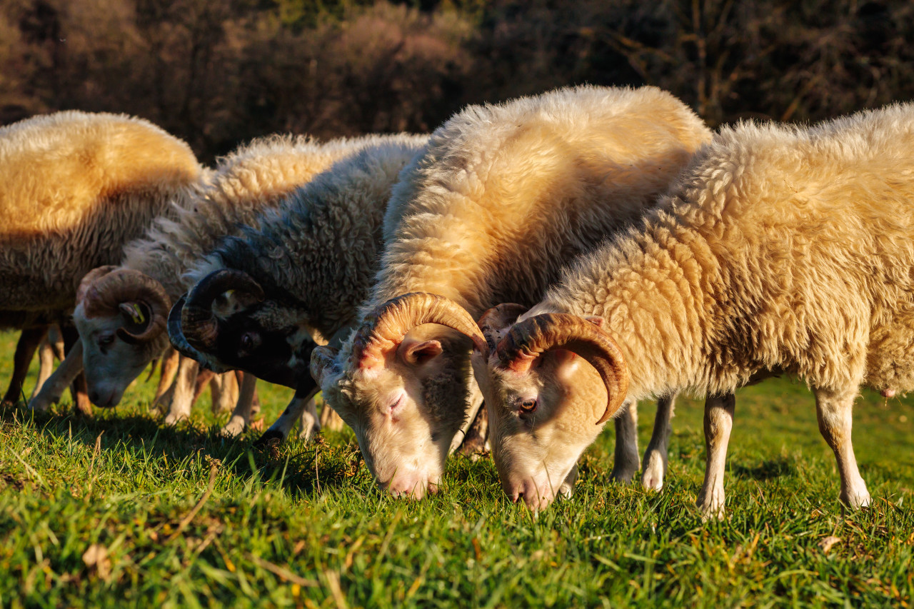 Sheep graze the meadow