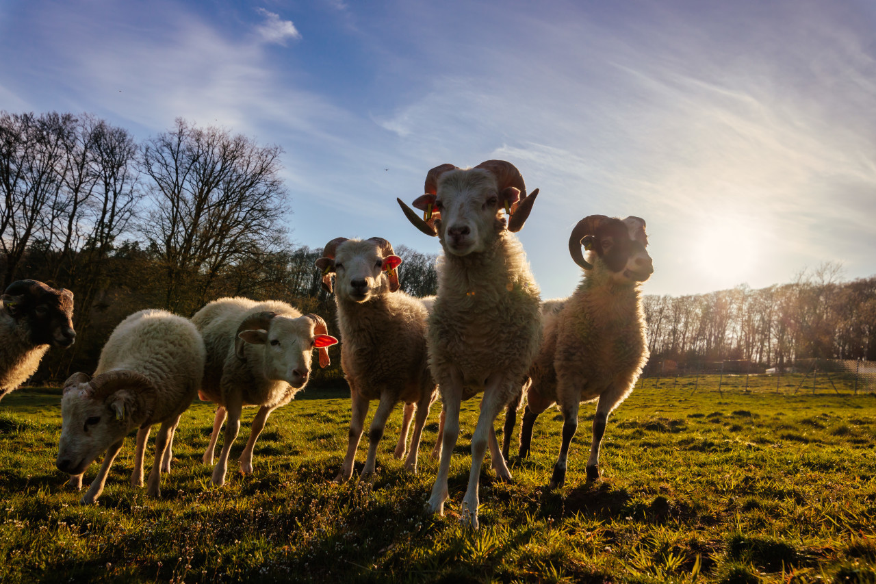 Sheep stand together in the meadow at sunset