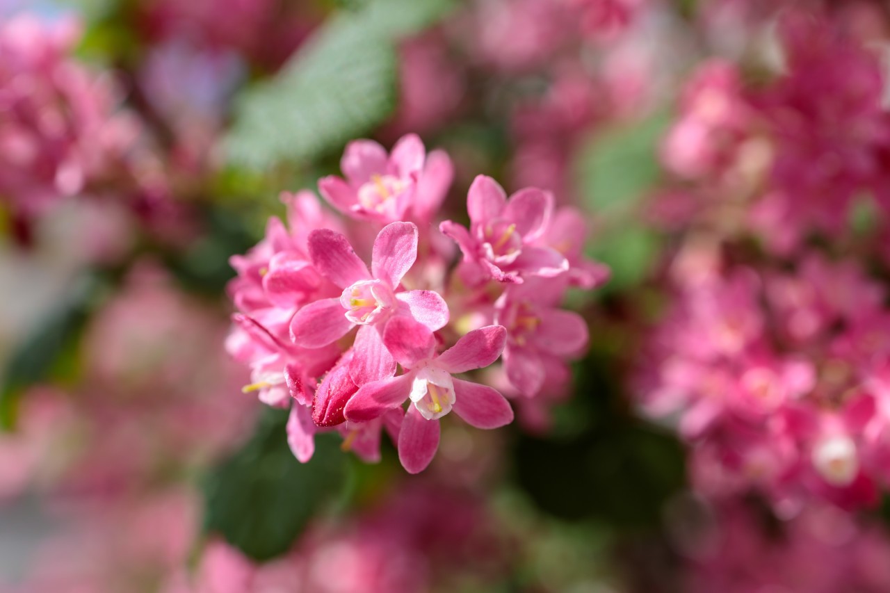 Ribes sanguineum pink blooming in spring