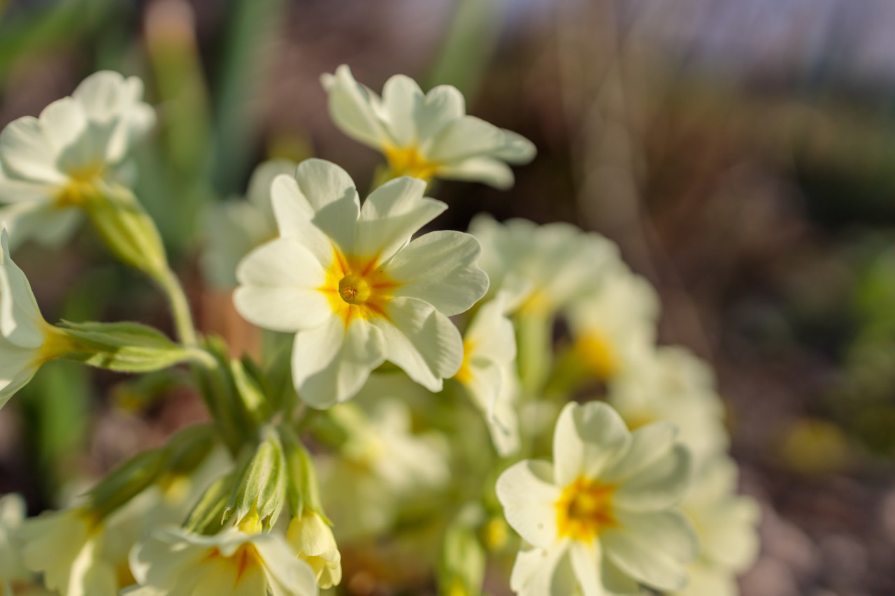 Primula veris or Cowslip Flower