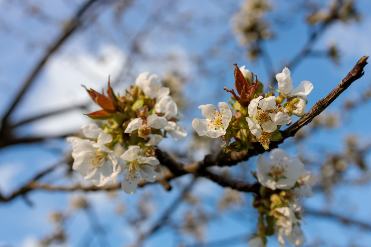 Apple blossom on blue sky