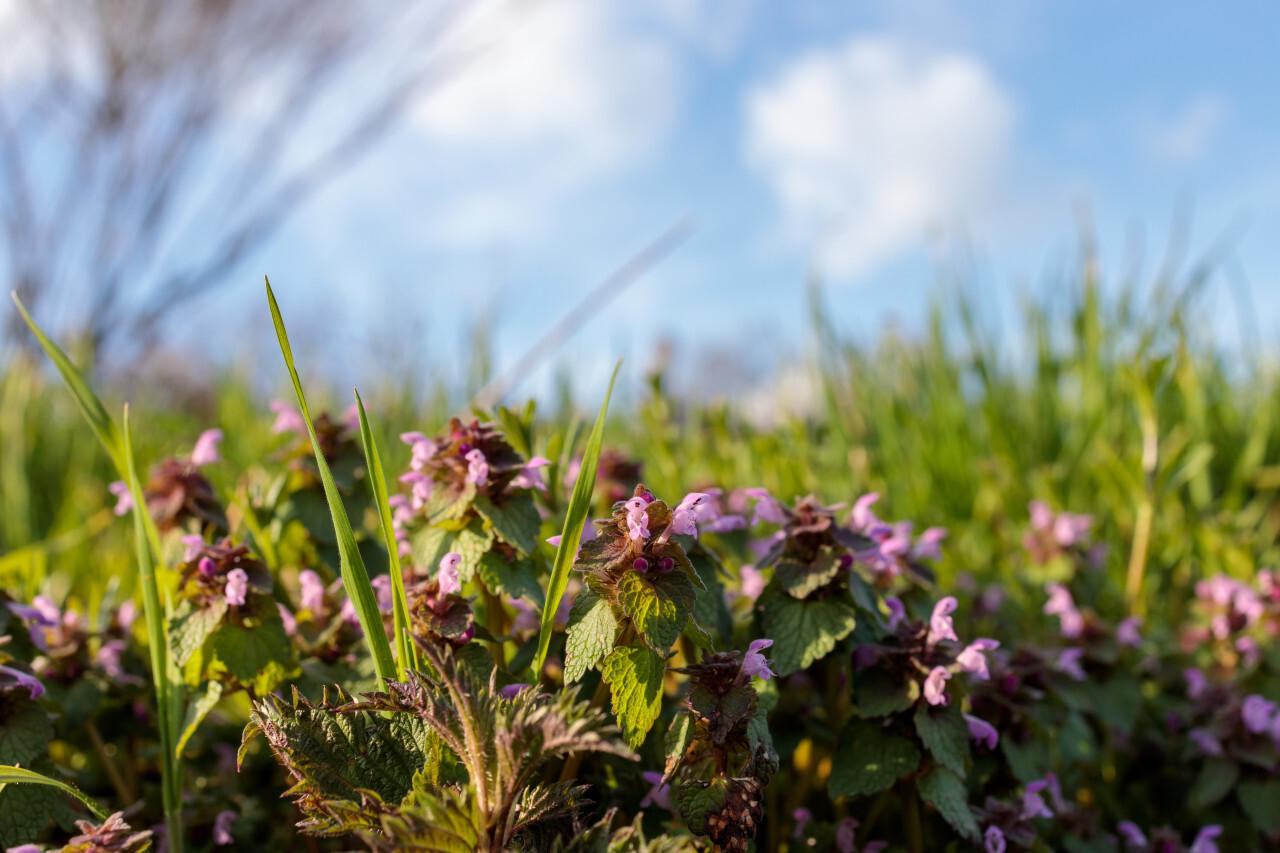 Lamium purpureum, red dead-nettle, purple dead-nettle or purple archangel