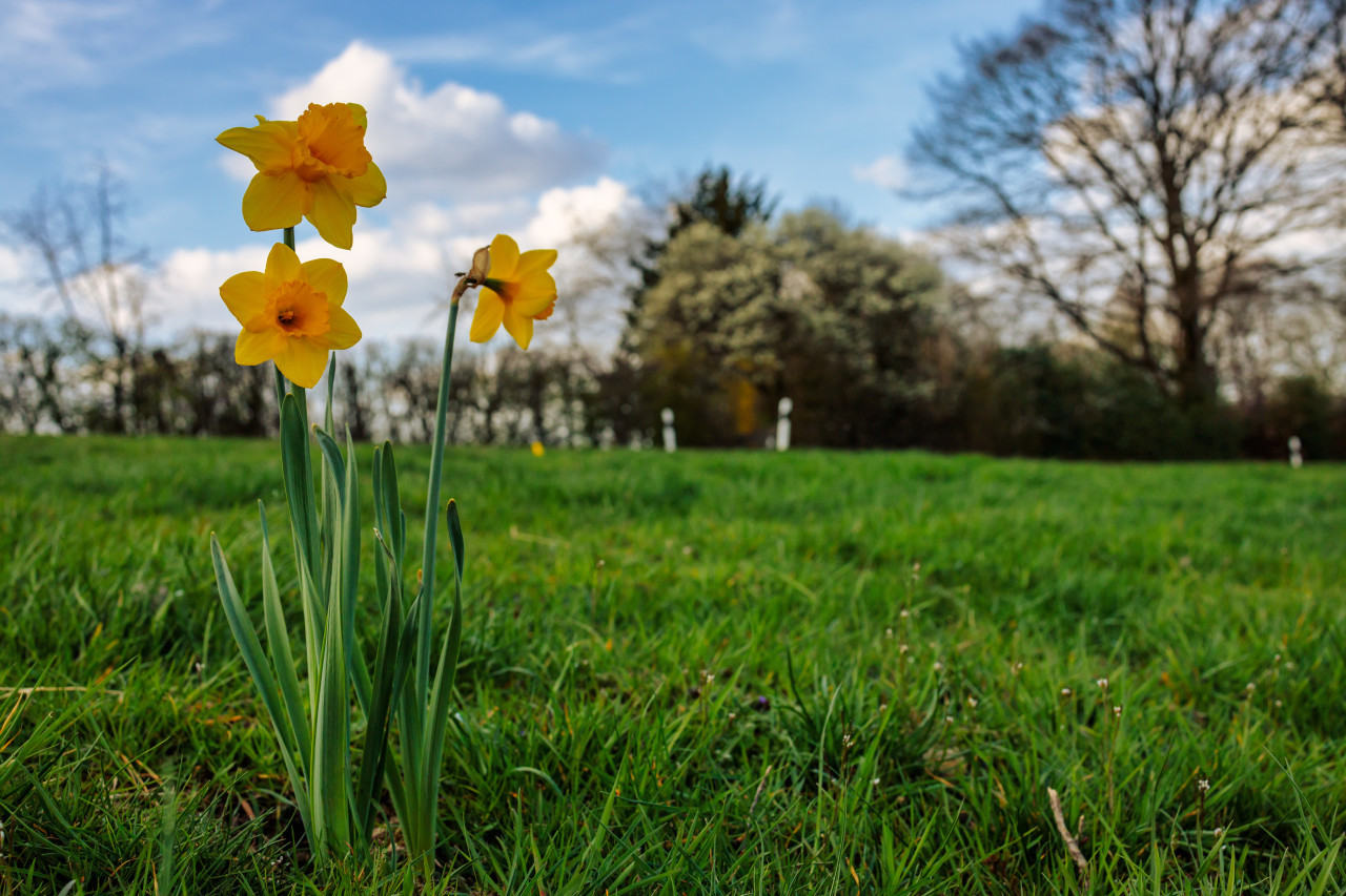 Three yellow daffodils in a meadow
