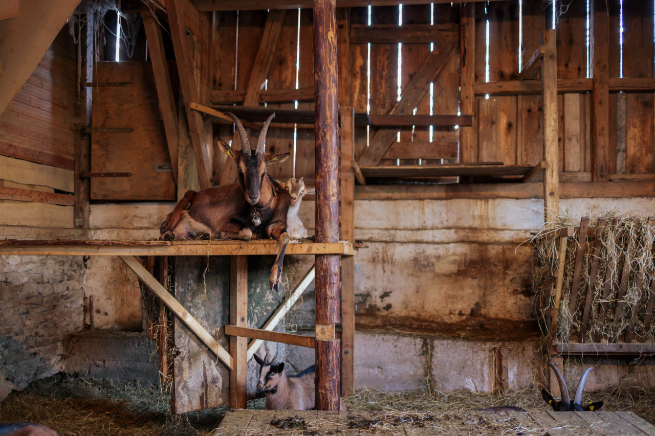 Goats lie in the barn